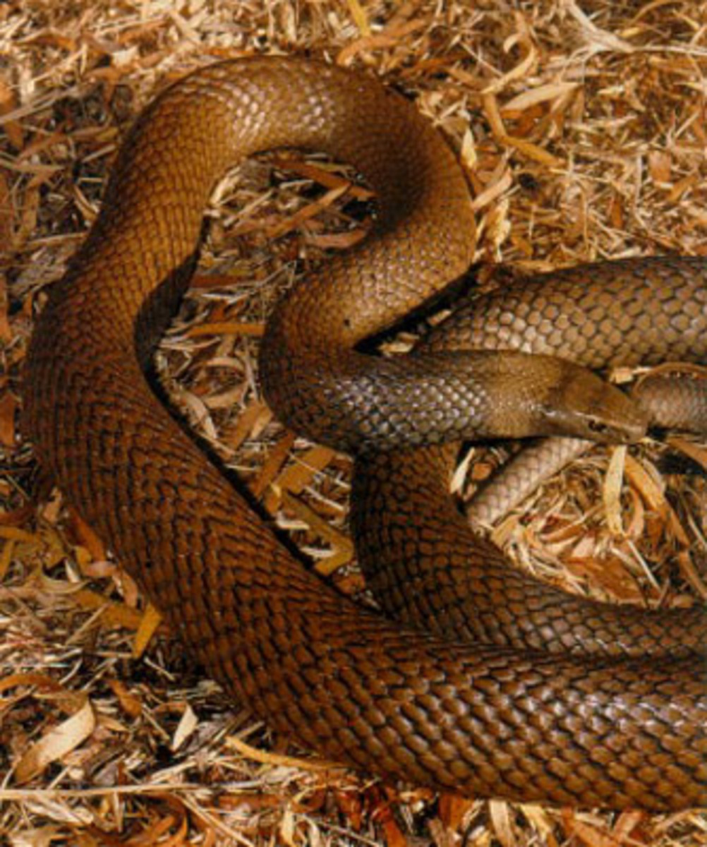 Dugite Brown Snake
