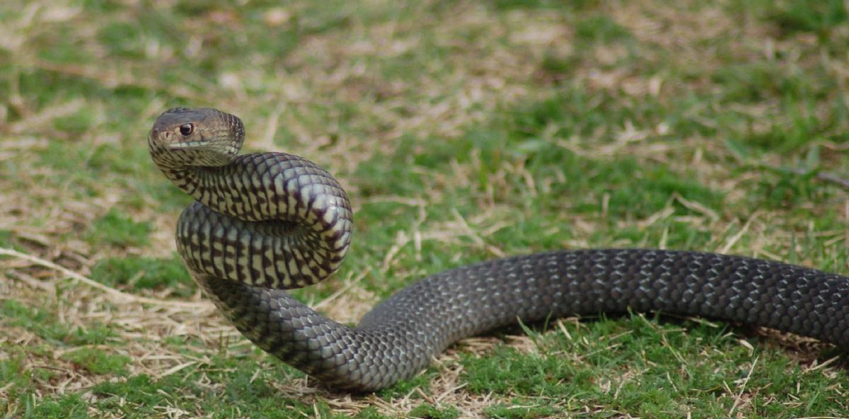 Mainland Tiger snake
