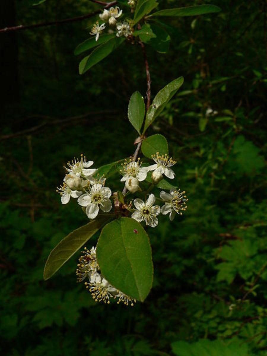 Oregon Cherry / Bitter Cherry