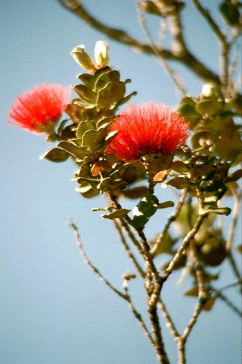Lehua Flower