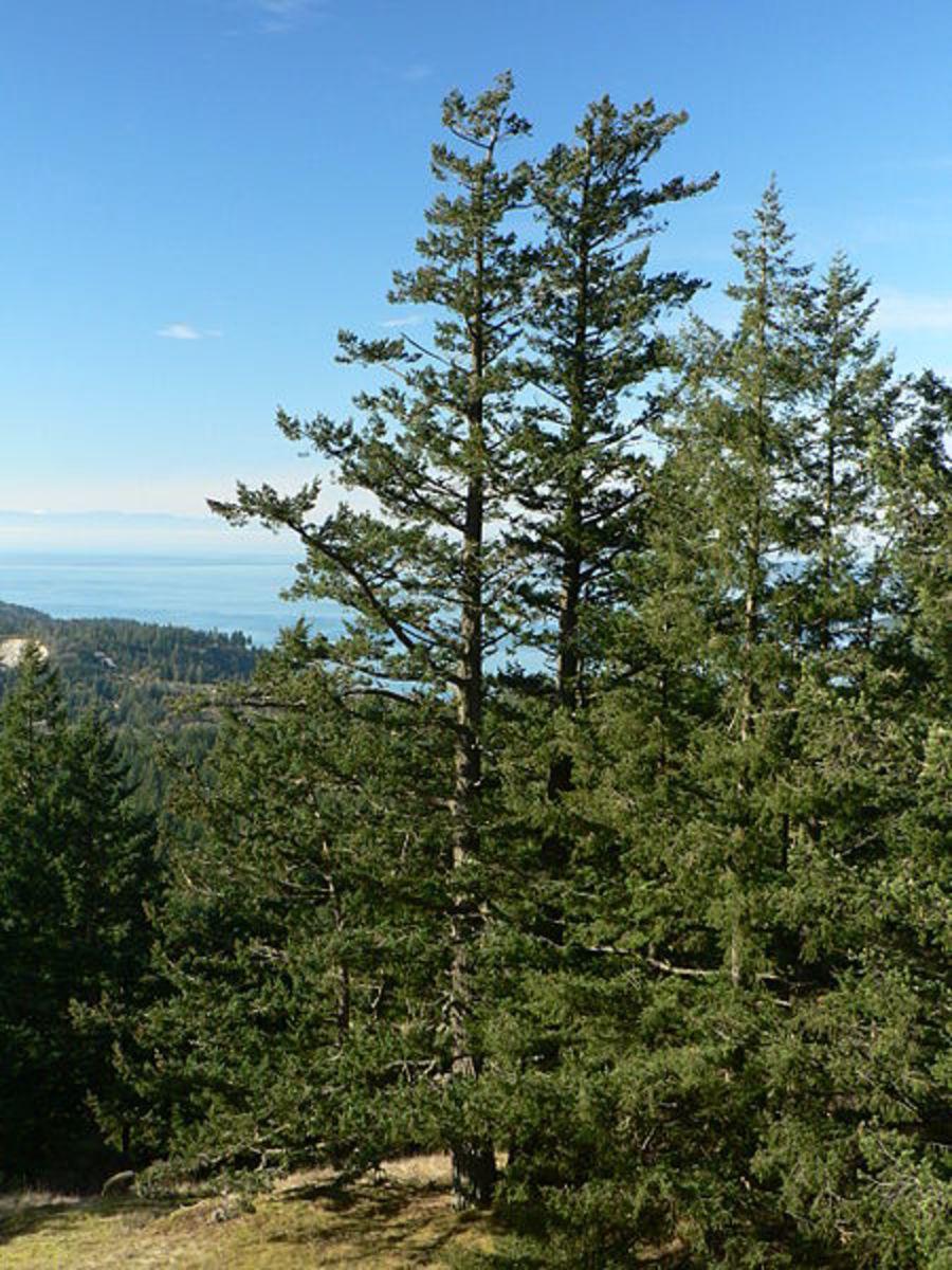 Oregon Pine / Douglas Fir