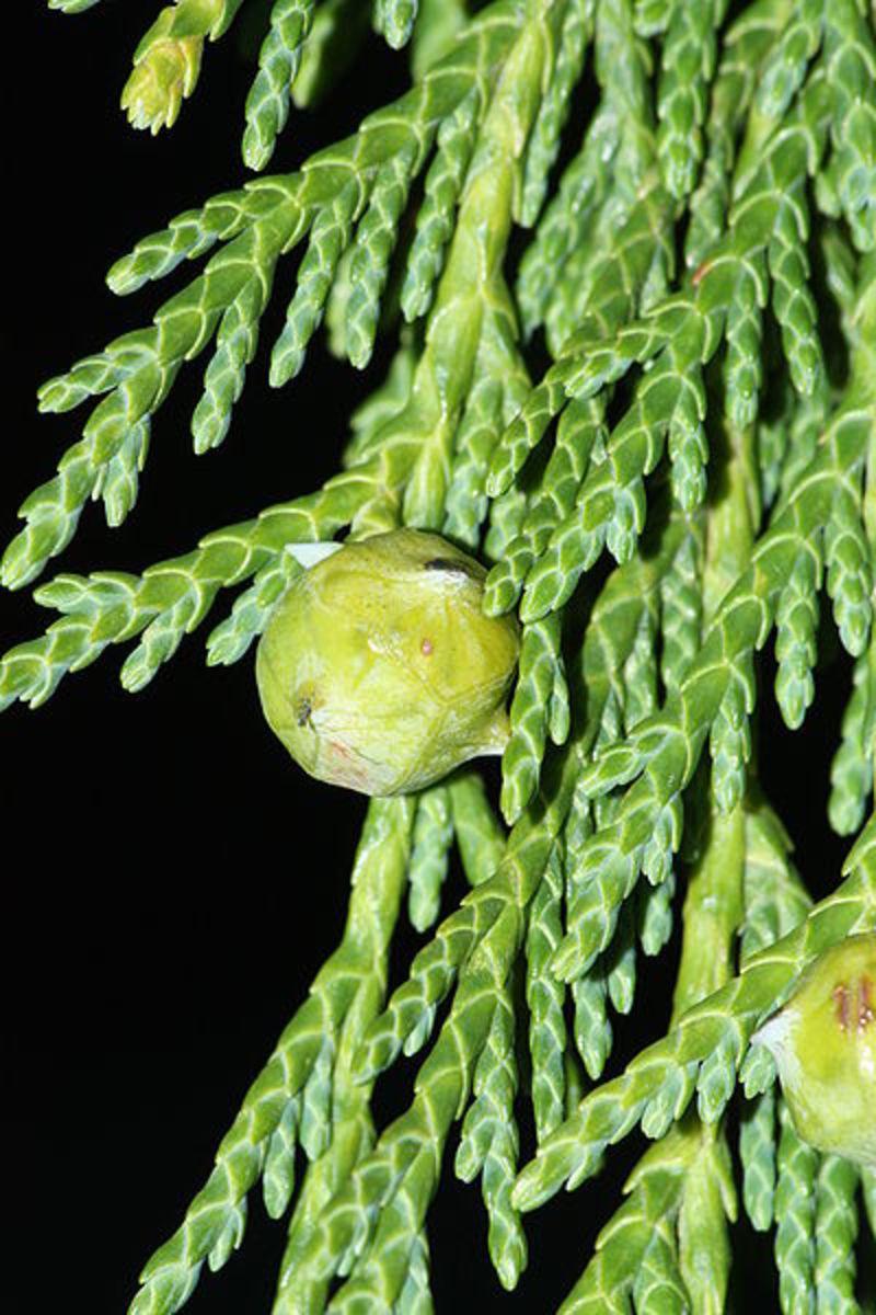 Alaska Cypress