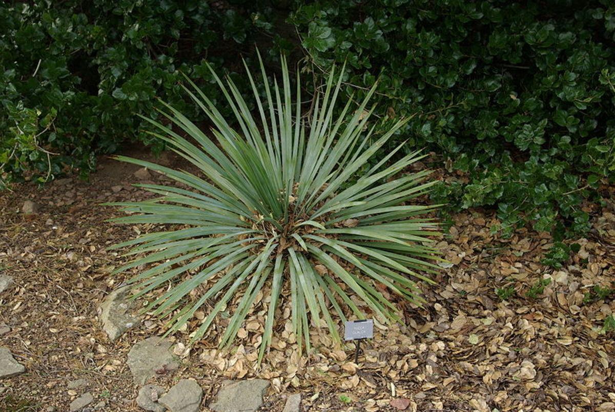 Plains Yucca
