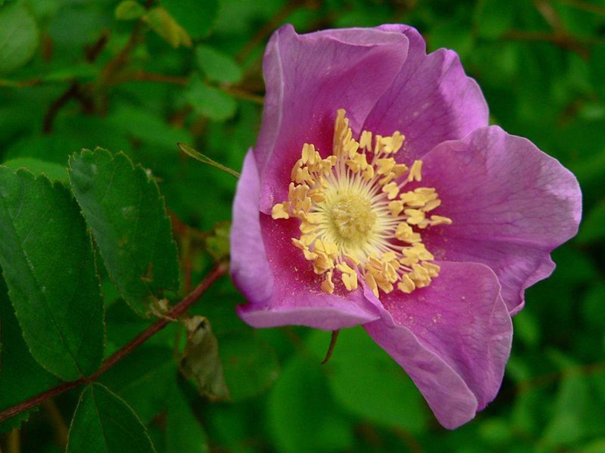 Nutka Rose