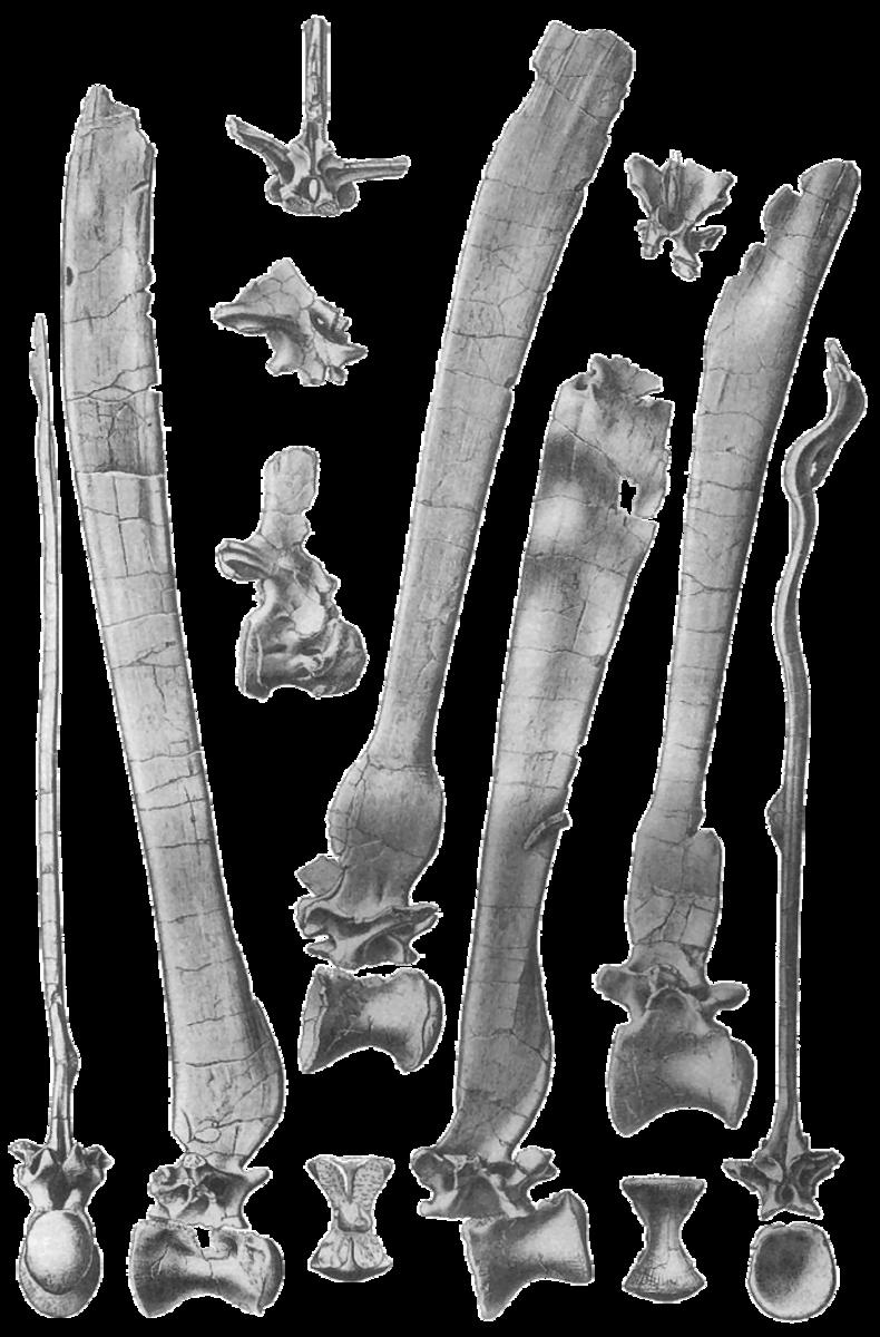 Illustration of Spinosaurus aegyptiacus dorsal vertebrae by Ernst Stromer.