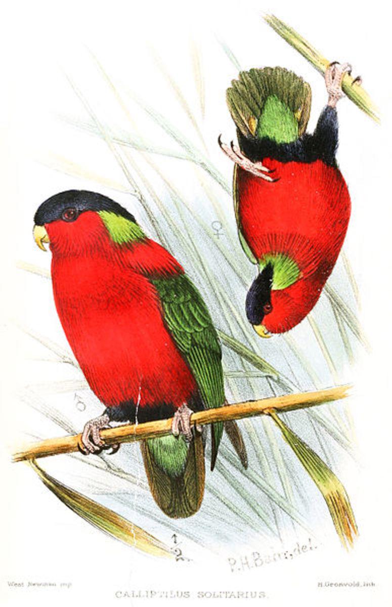 Collared Lorry - National Bird of Fiji