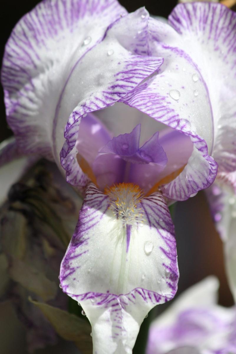 Purple Striped Bearded Iris with Dew in my Flower Bed