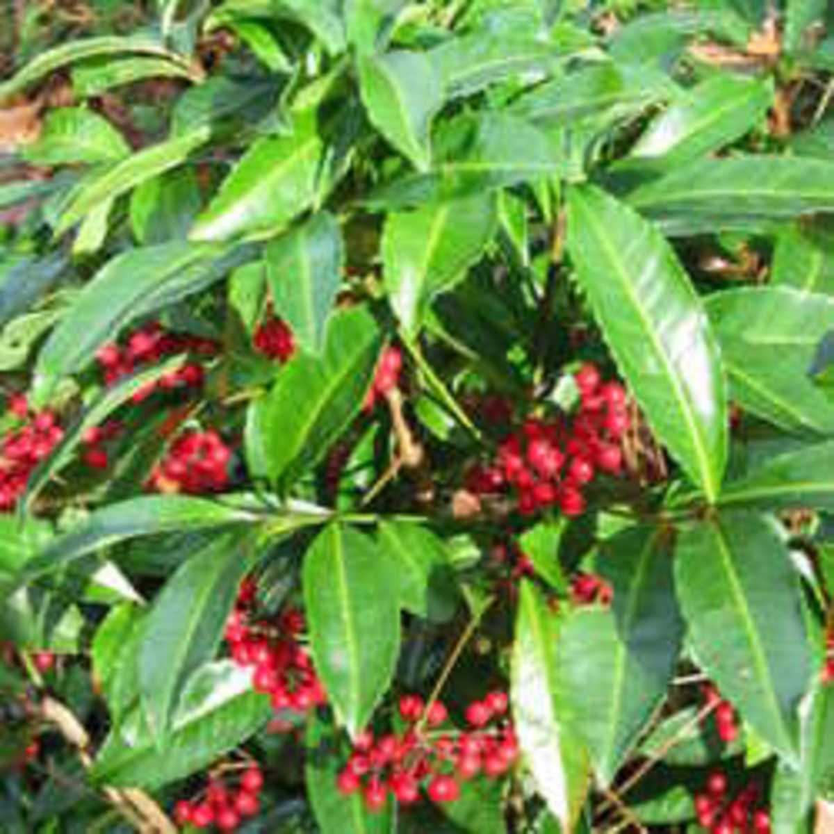Coral Ardisia Displaying small red berries.