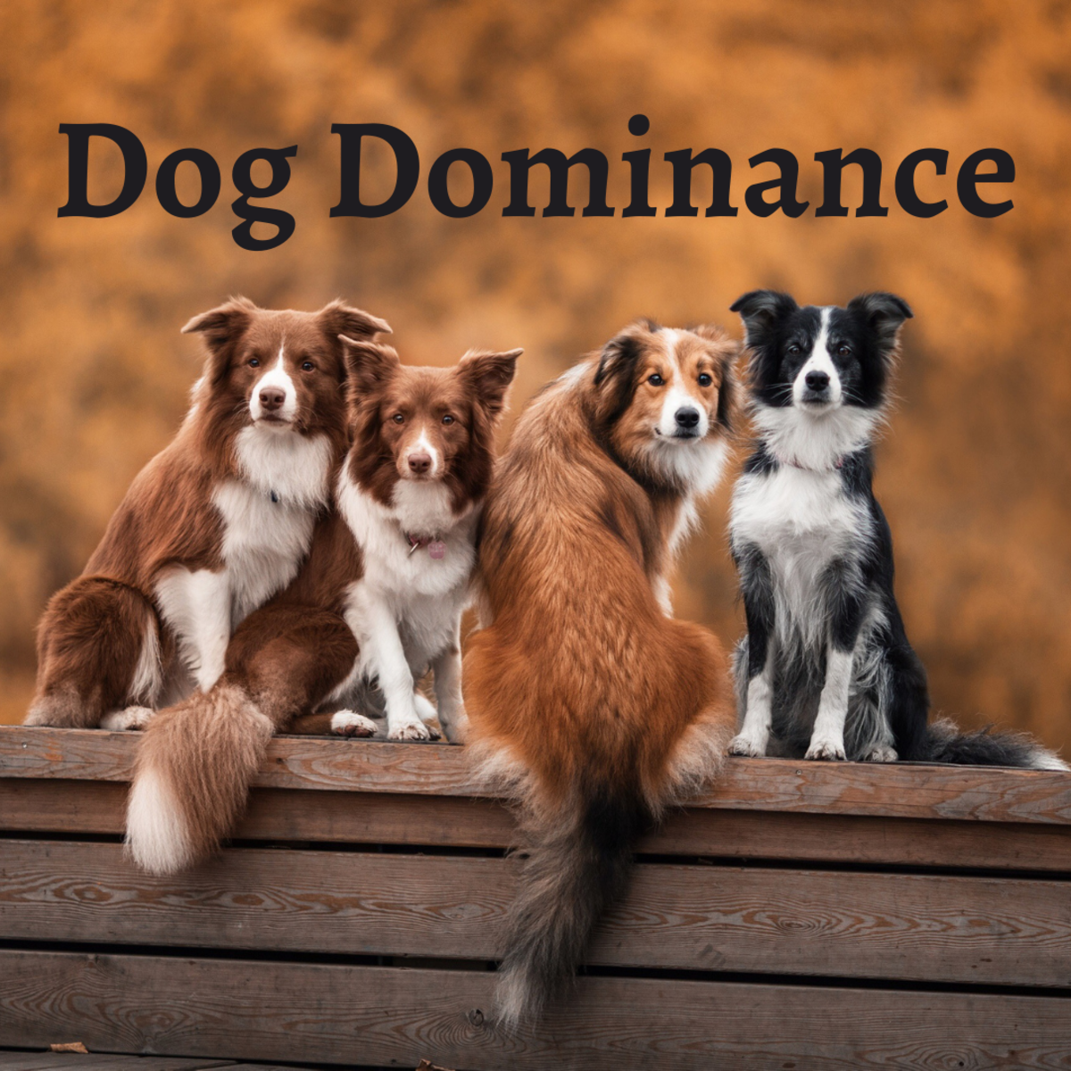 Dog dominance theory—what is it?
