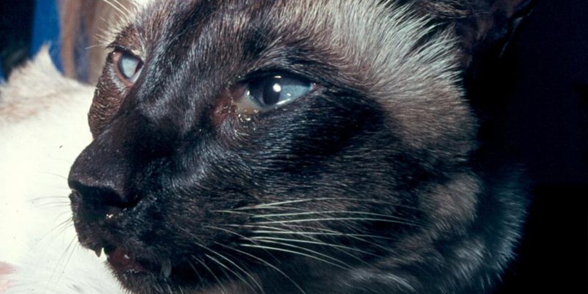 Cat Eye Discharge and Its Treatment