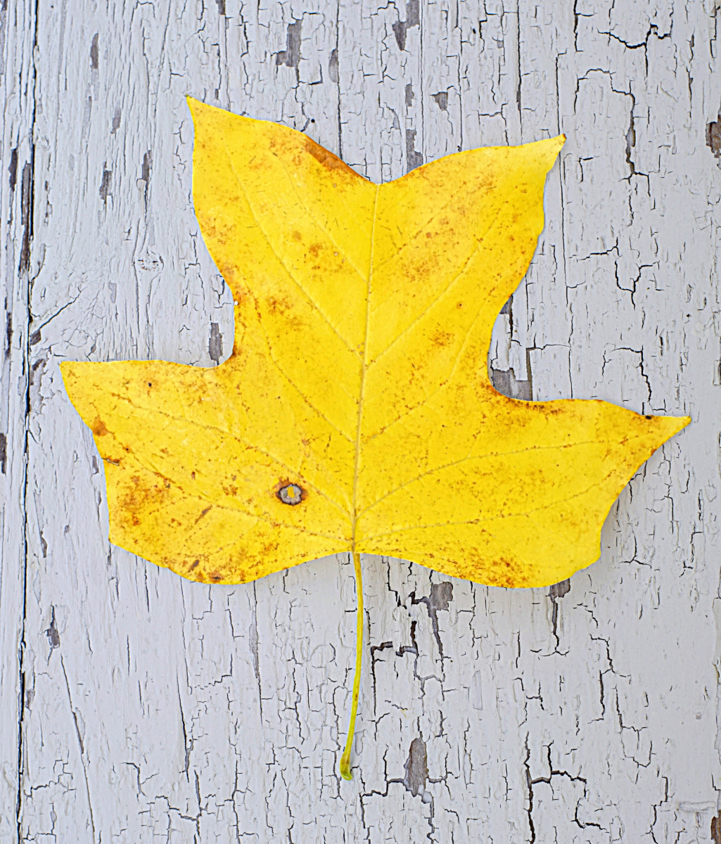 Yellow Tulip Poplar Autumn Color
