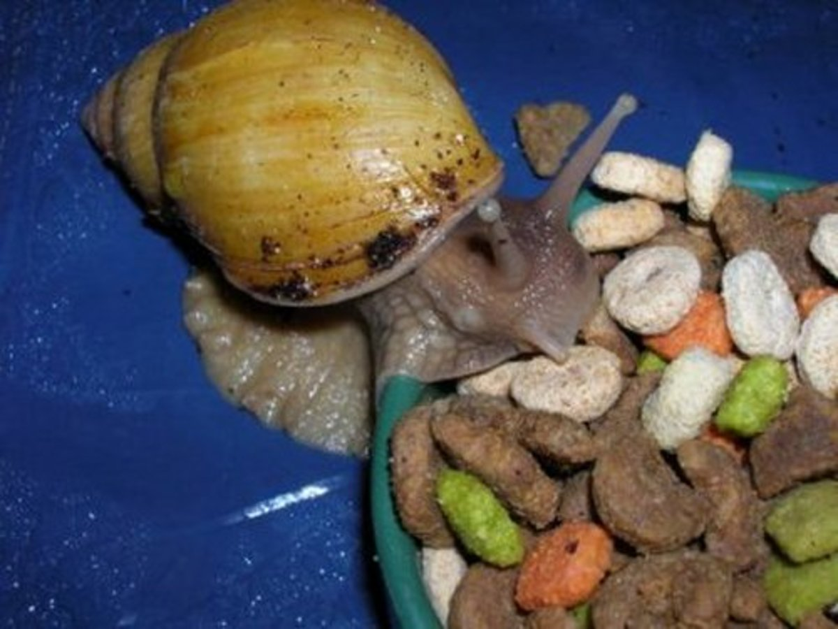 Giant African Snail Feeding on Cat Food!
