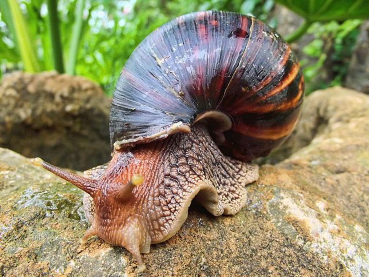 Giant african land snail eating - photo#44