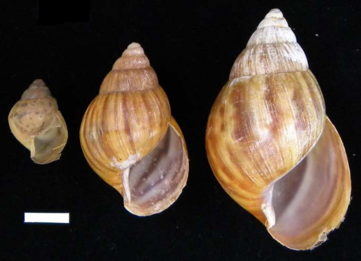 african-snails-invade-florida