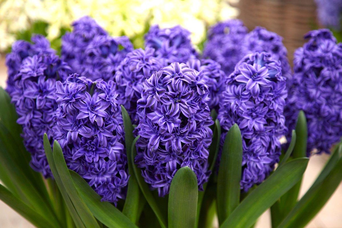 Hyacinth of Hope, vastness, infinity