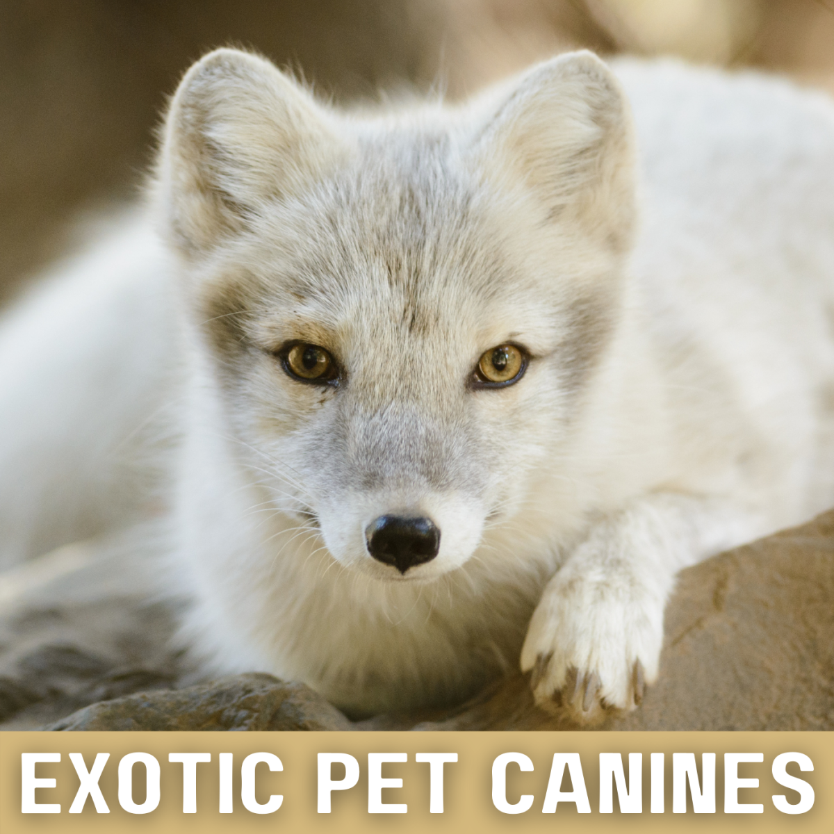 This is an Arctic Fox. Learn more about non-domesticated canines that are kept as pets.