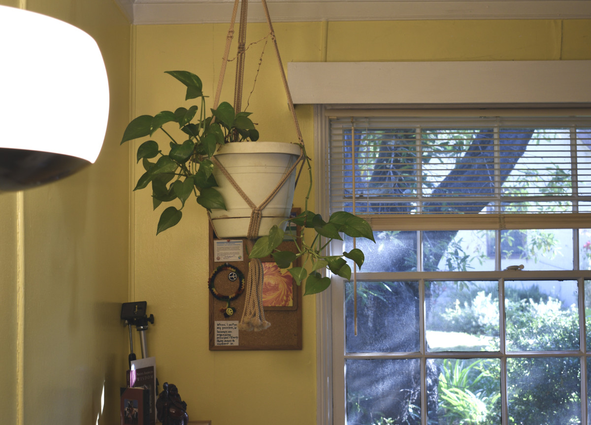 Here you can see the bright floor lamp where this pothos is getting most of its light. This plant was twice as big as this where I used to live.