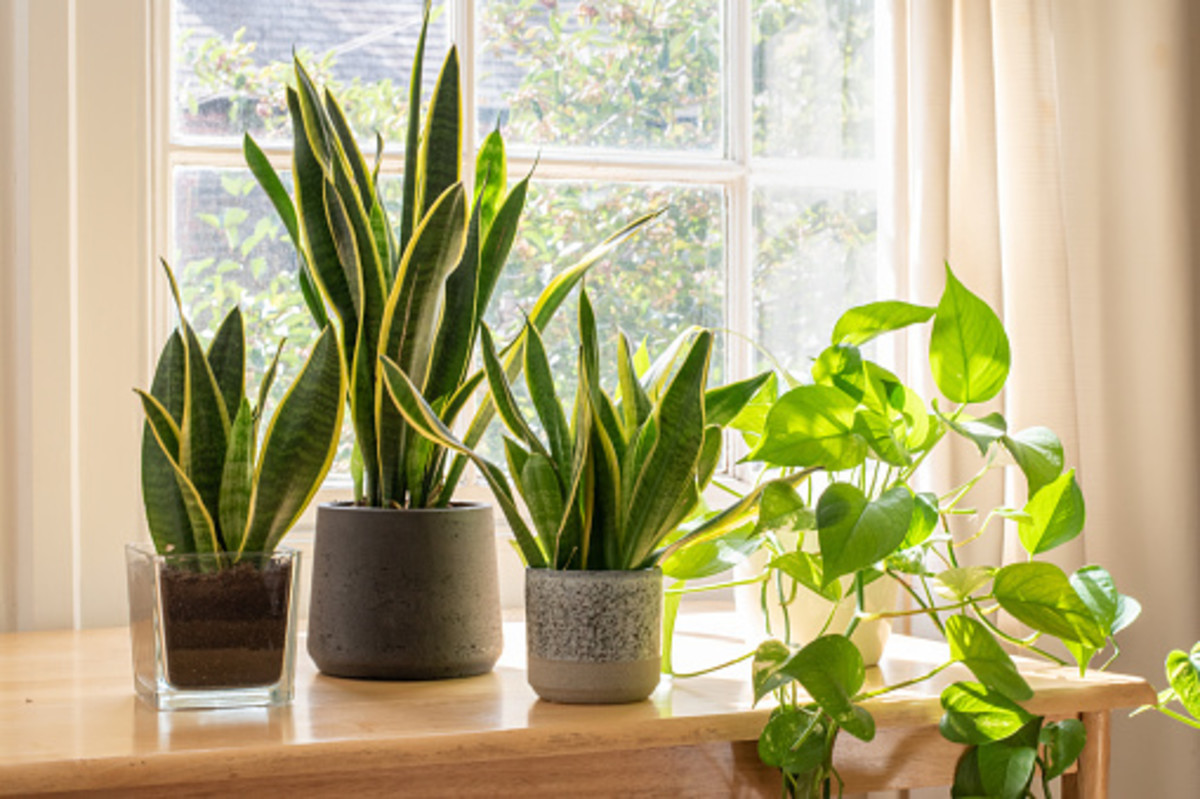 The snake plants on the left are upright, energizing plants, whereas the golden pothos on the right is a more relaxed, downward-growing plant that could be placed in a bedroom.