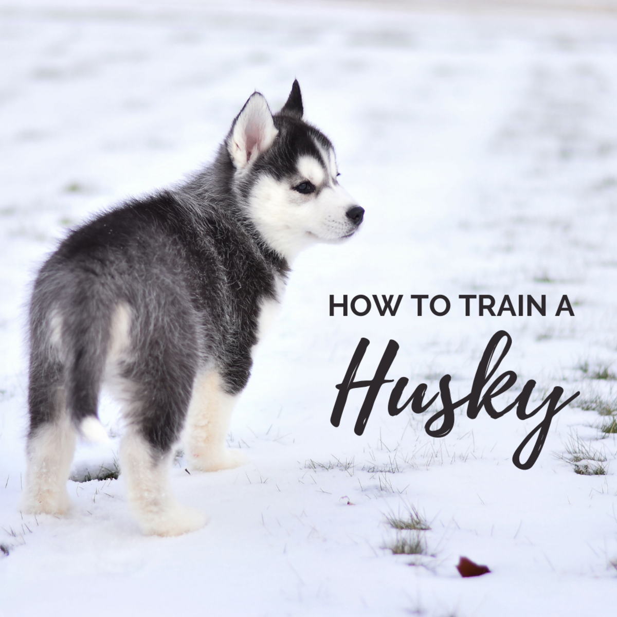 5 principles to follow when training your husky