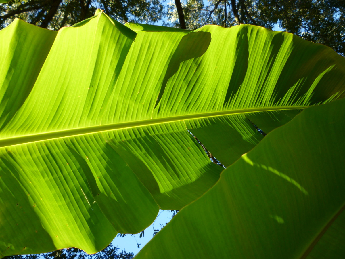 The underside of banana tree leaves as I look up towards the sky.