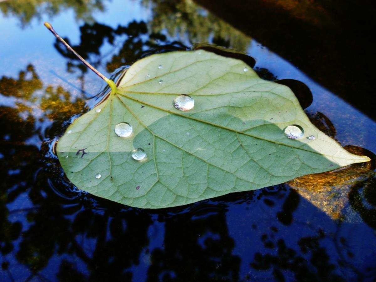 Fallen leaf floating in the birdbath with water droplets