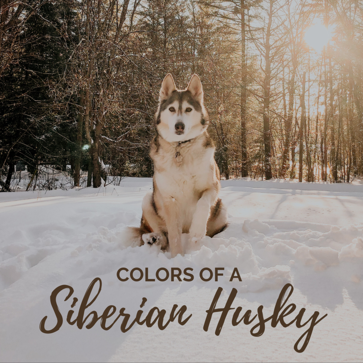 Brown, white, black—Siberian Huskies come in a wide range of colors.