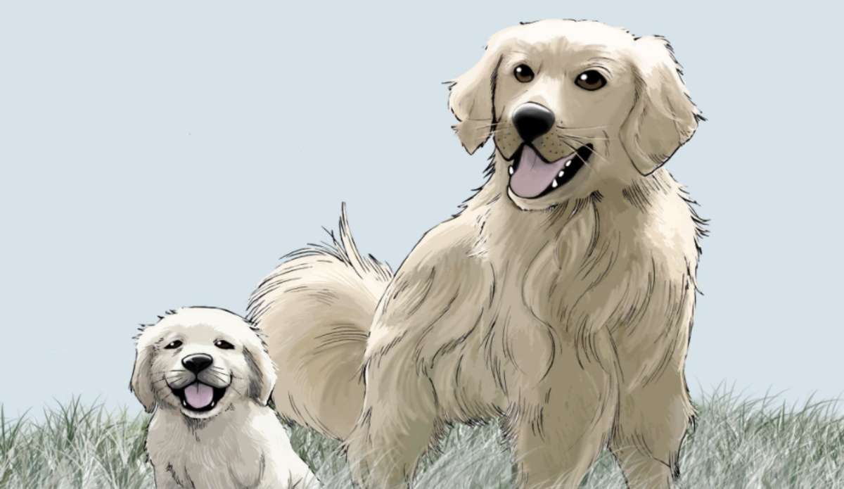 As your golden retriever matures from a puppy to a full-grown dog, it will go through sudden spurts of growth.