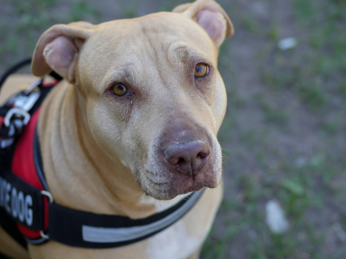 These are stories of heroic Pit Bulls