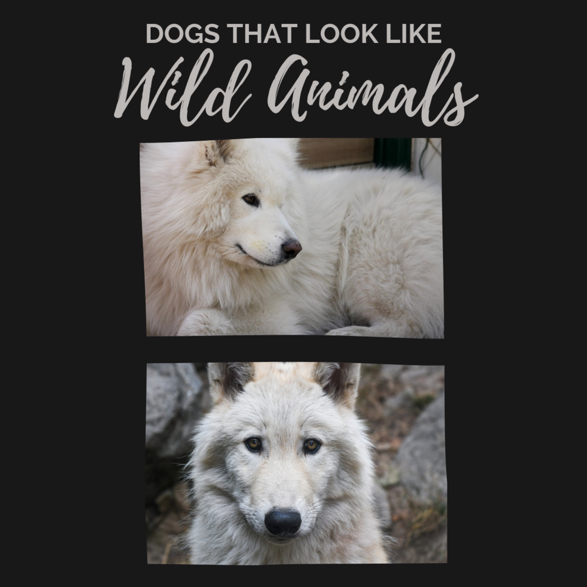 Samoyeds look somewhat similar to white wolves when the two are compared side by side.