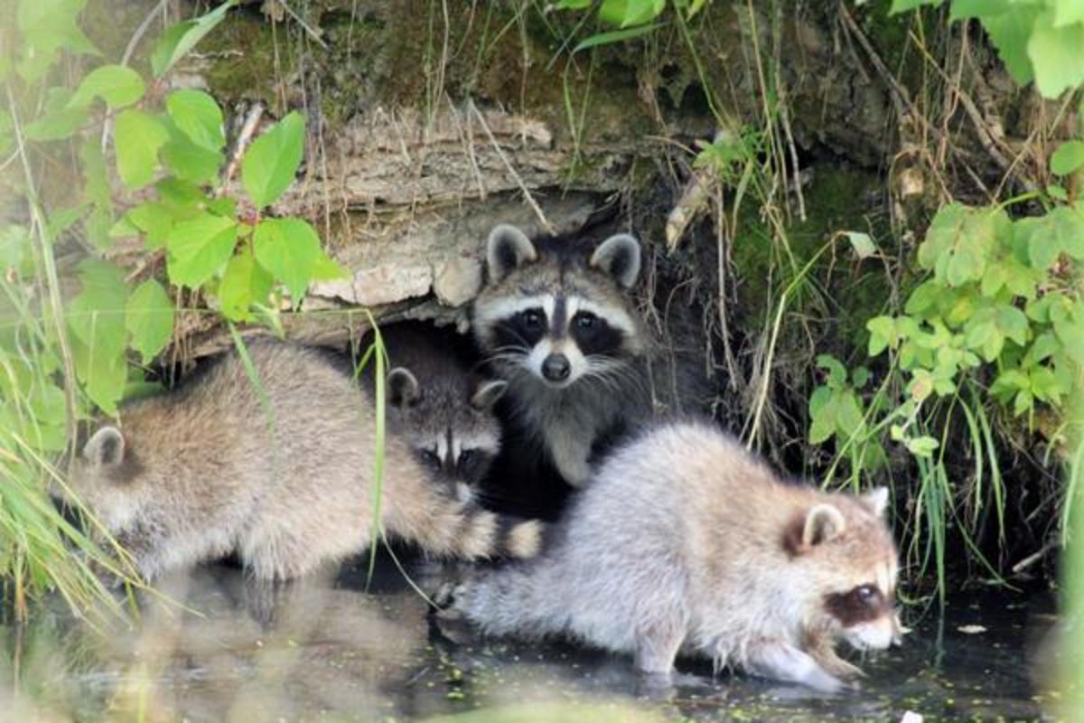 Pygmy raccoons