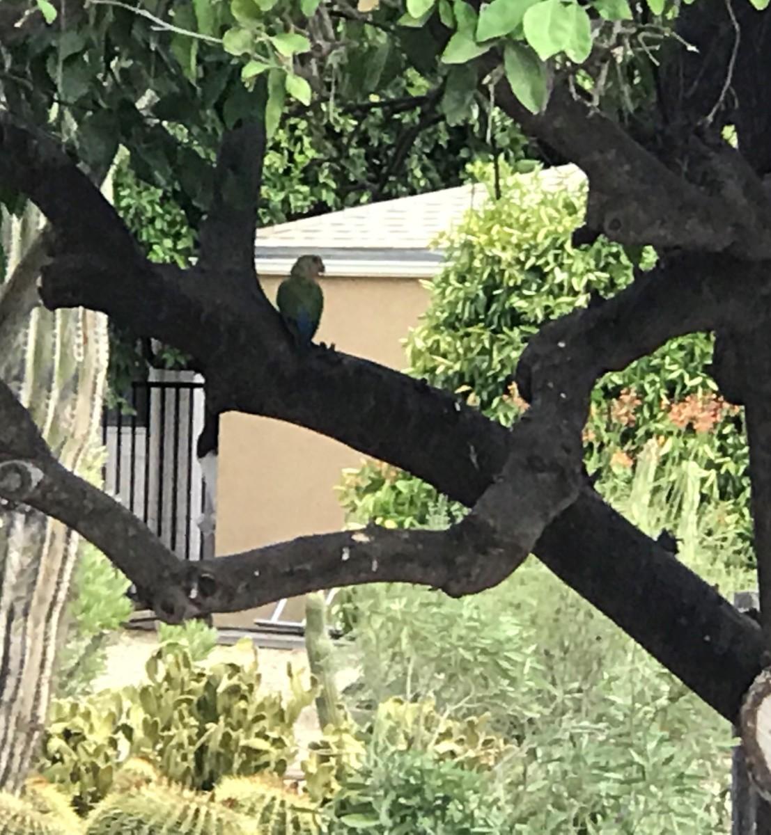 Parrots in Arizona?