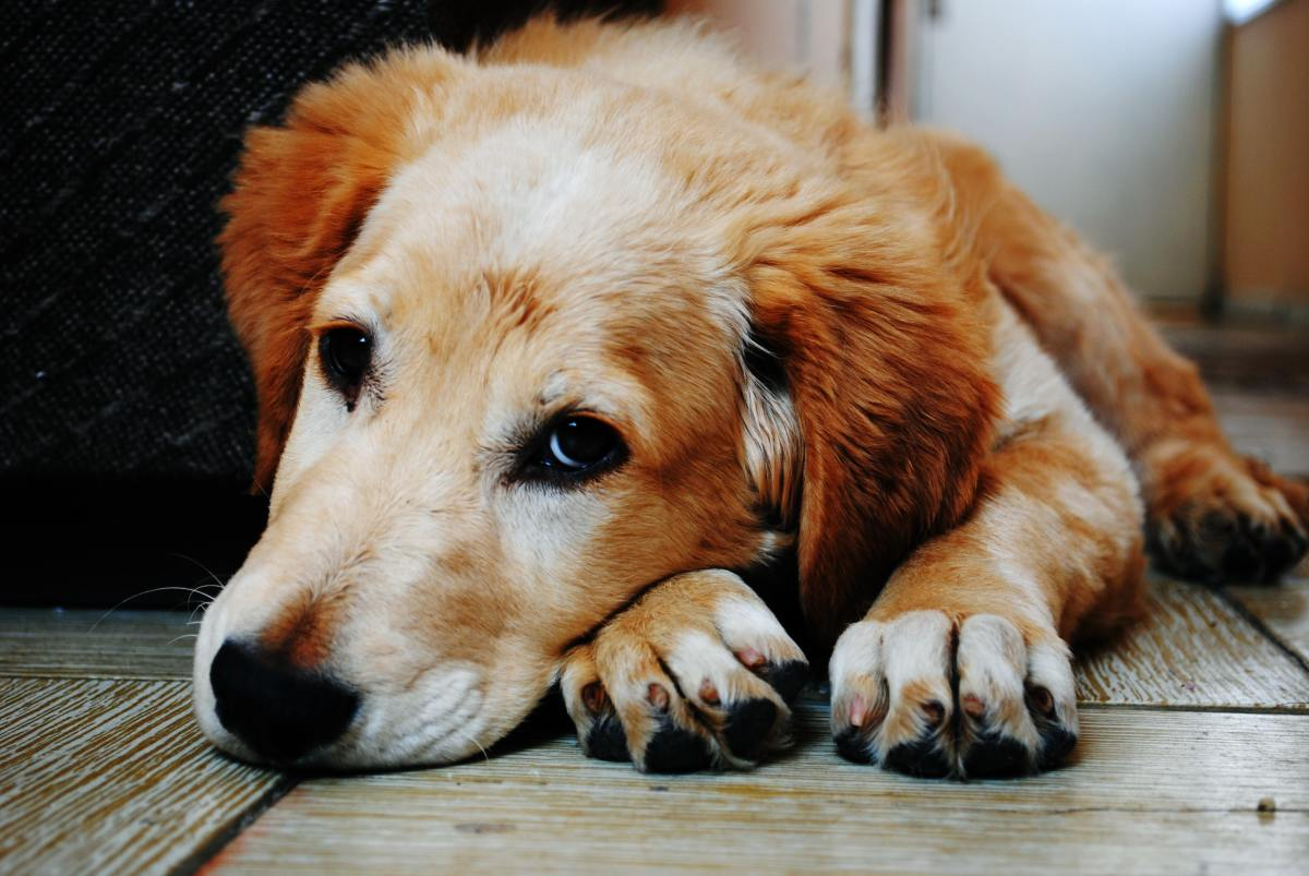 Probiotics help maximize health in senior dogs.  Beginning with improved digestion for sensitive stomachs.