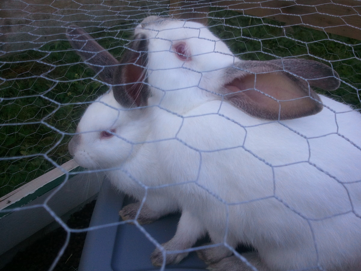 Crossed New Zealand and Californian meat rabbits
