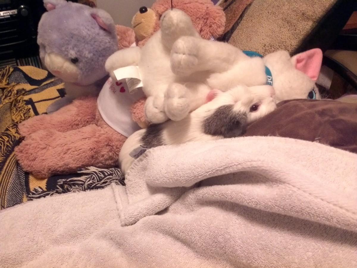 My Guinea Pig, Muffin, hiding amongst stuffed animals