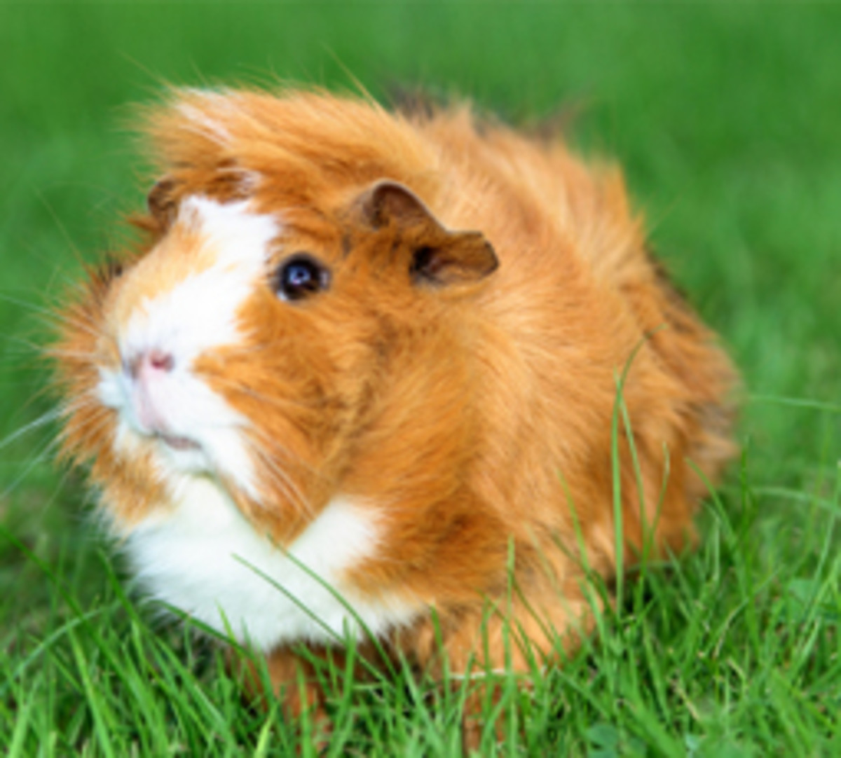 Fun Facts About Guinea Pigs