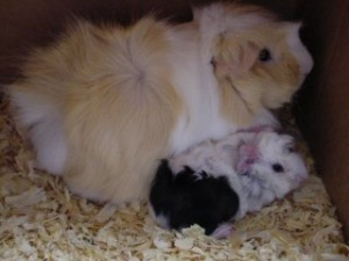 Mom and newborn Guinea Pigs