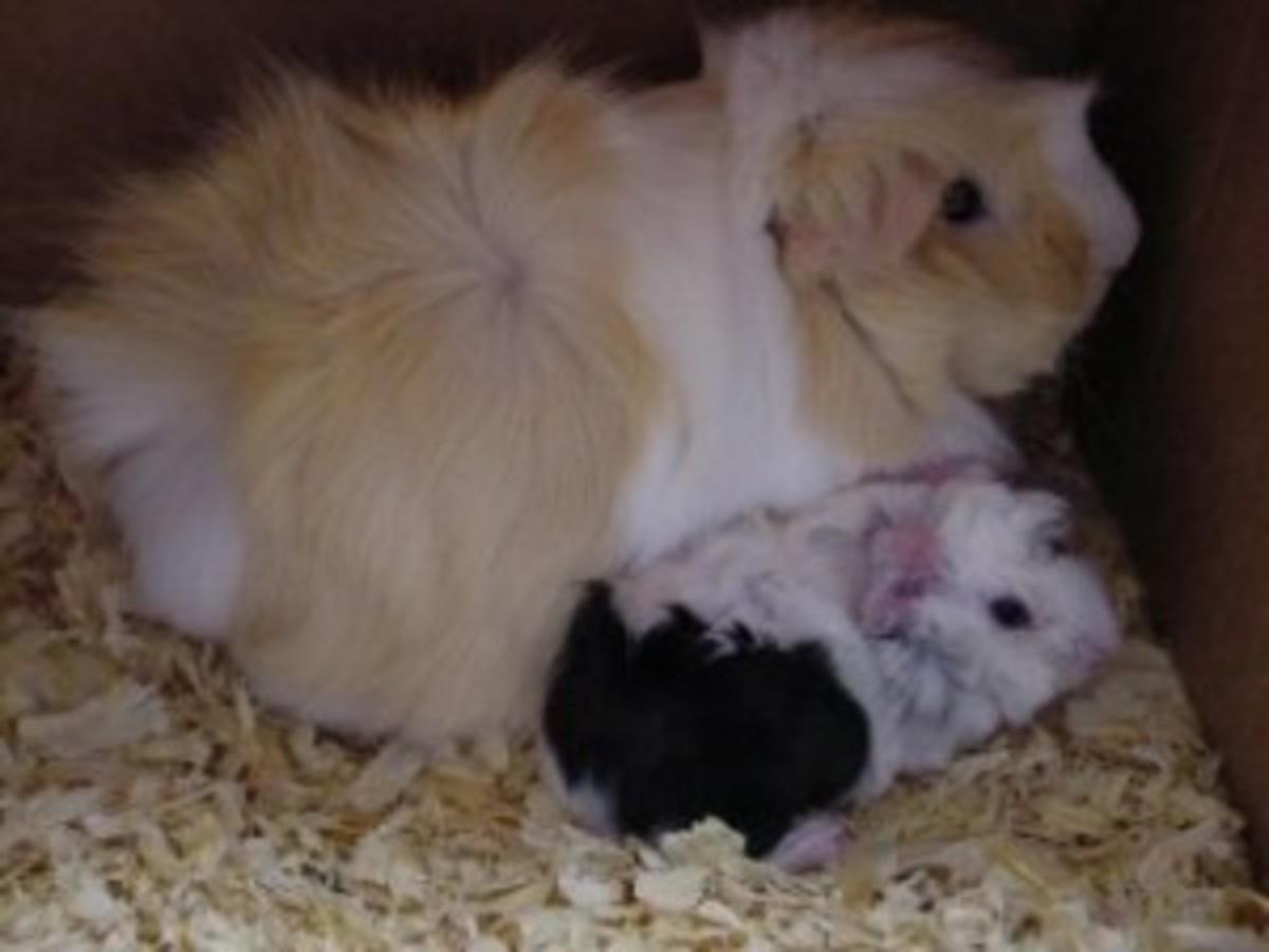 Mom and newborn Guinea Pigs