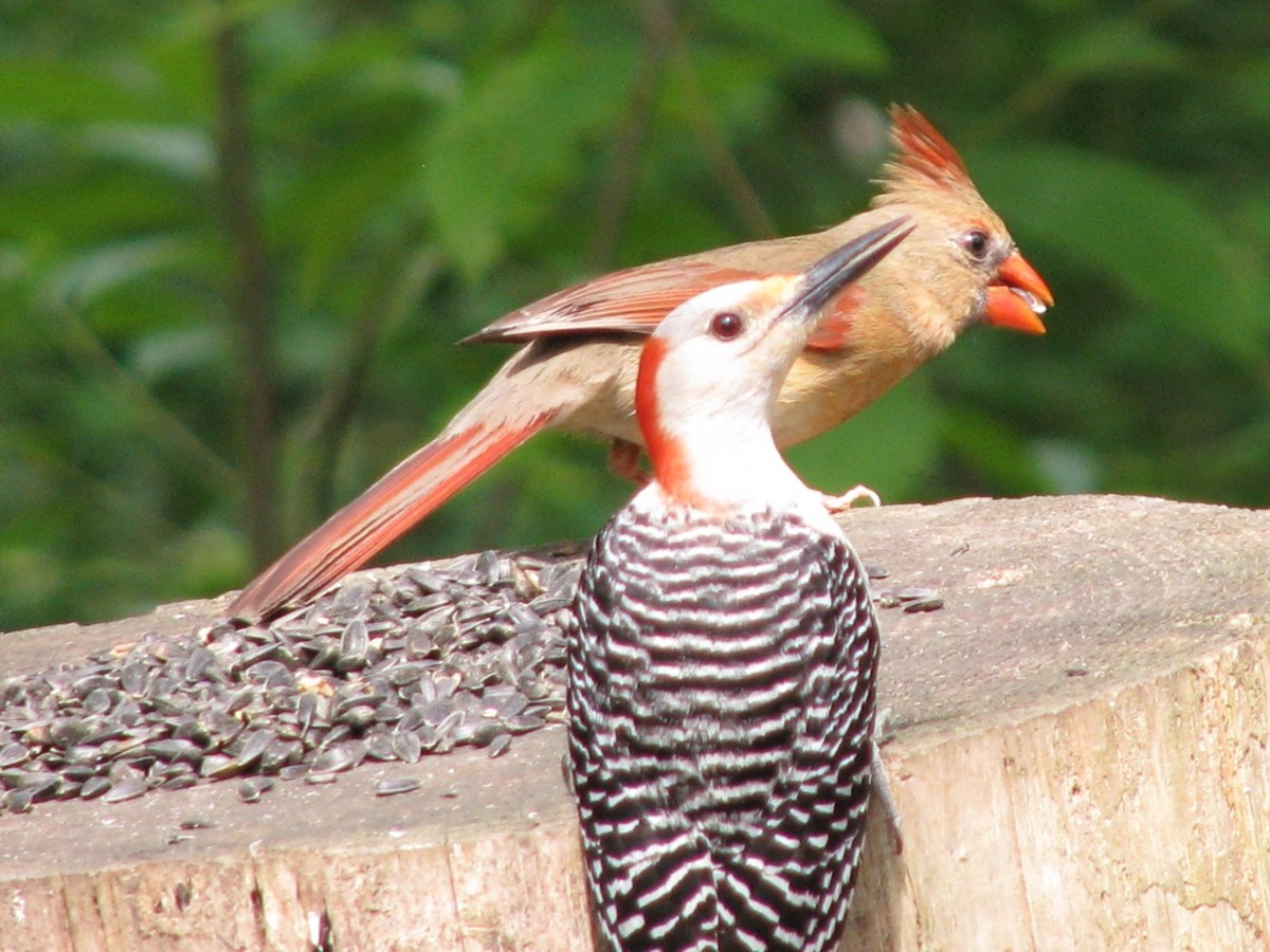 Birds such as this red-bellied woodpecker and female cardinal eat many insects as well as seed.