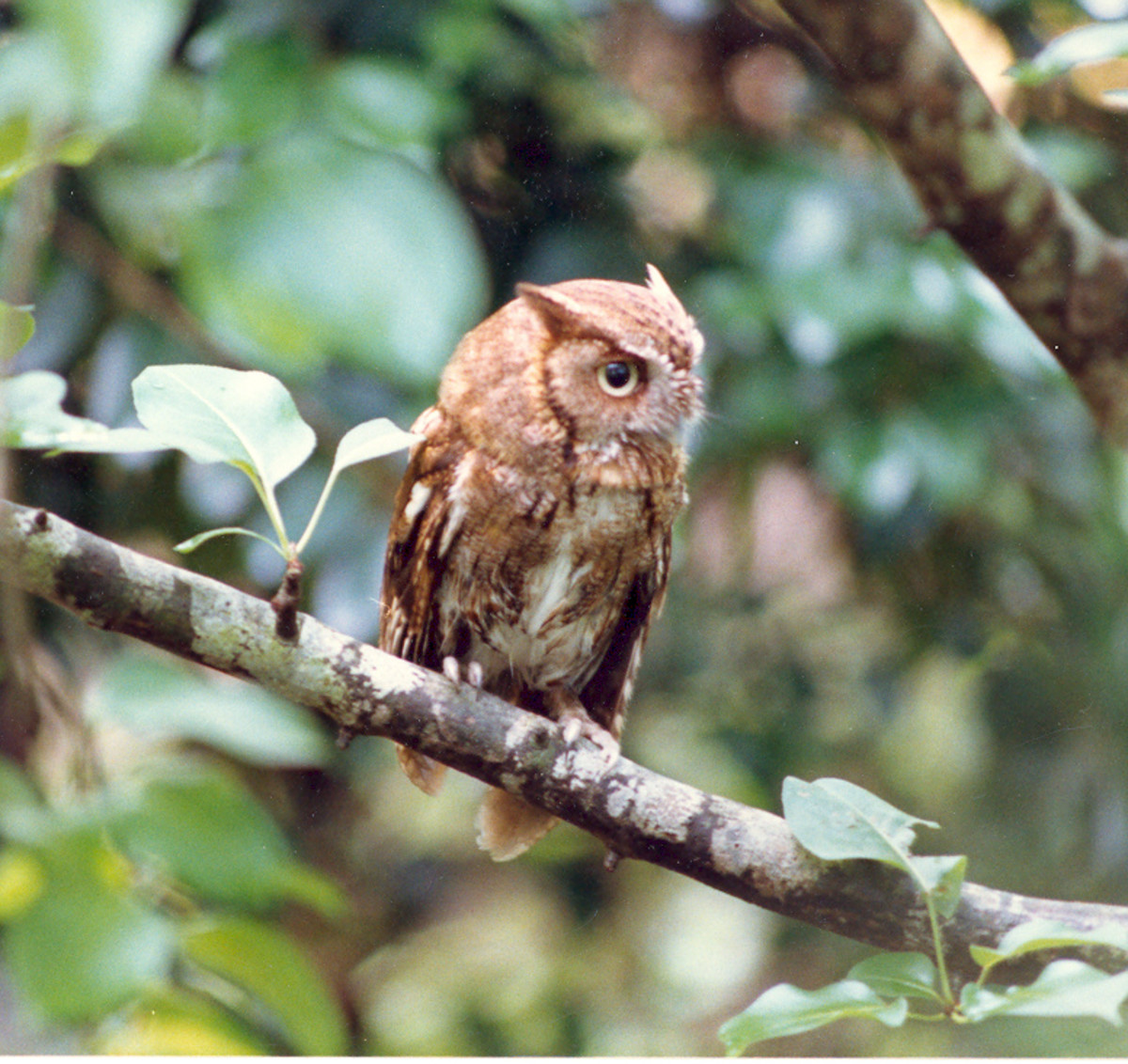 Predators, such as this Eastern screech owl, are also needed to balance the environment and are an important link in the food chain.
