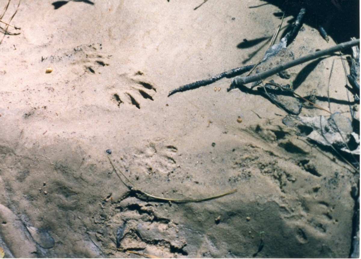 Raccoon tracks in the bank of Pruden Creek show signs of nocturnal visitors to the habitat.