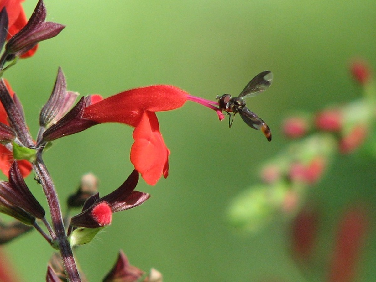 Hoover flies are tiny pollinators that frequently visit Salvia flowers. Salvia coccinea is a favorite of hummingbirds, butterflies and bees.
