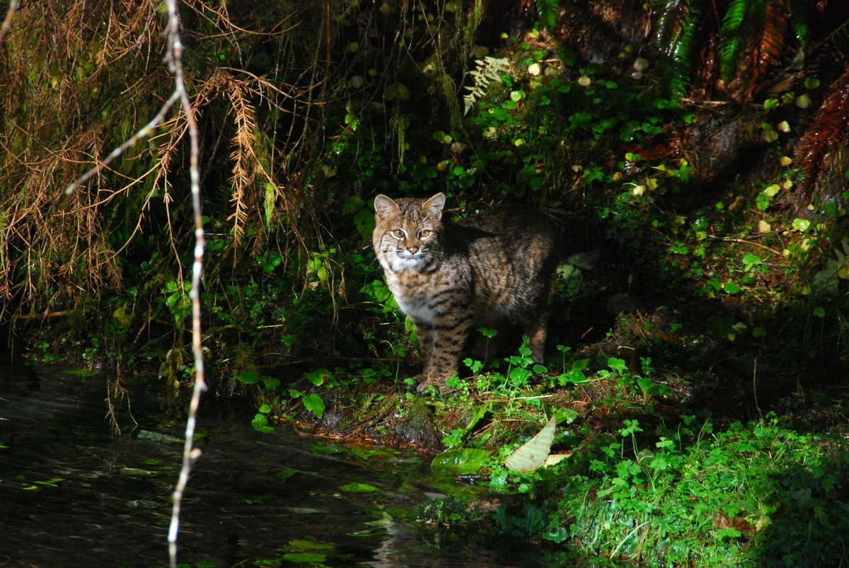 A bobcat in Olympic National Park.