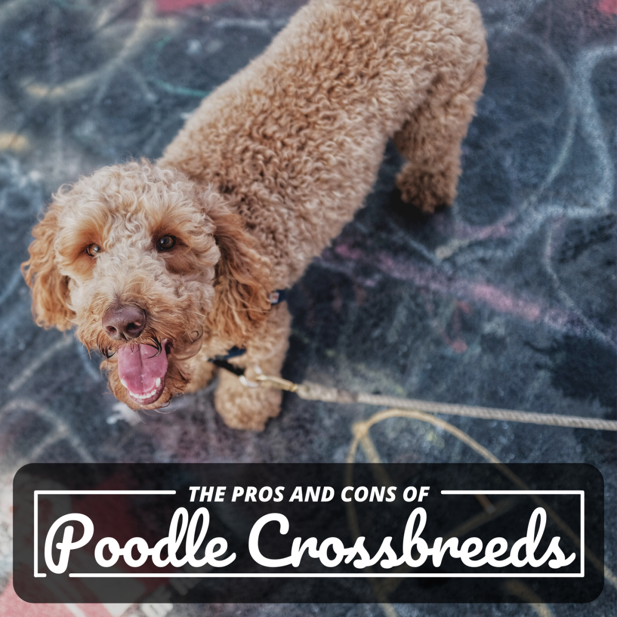 Many people rush into getting a poodle mix because they want a dog that doesn't shed much, but some of these breeds also have negative characteristics most folks don't know about.