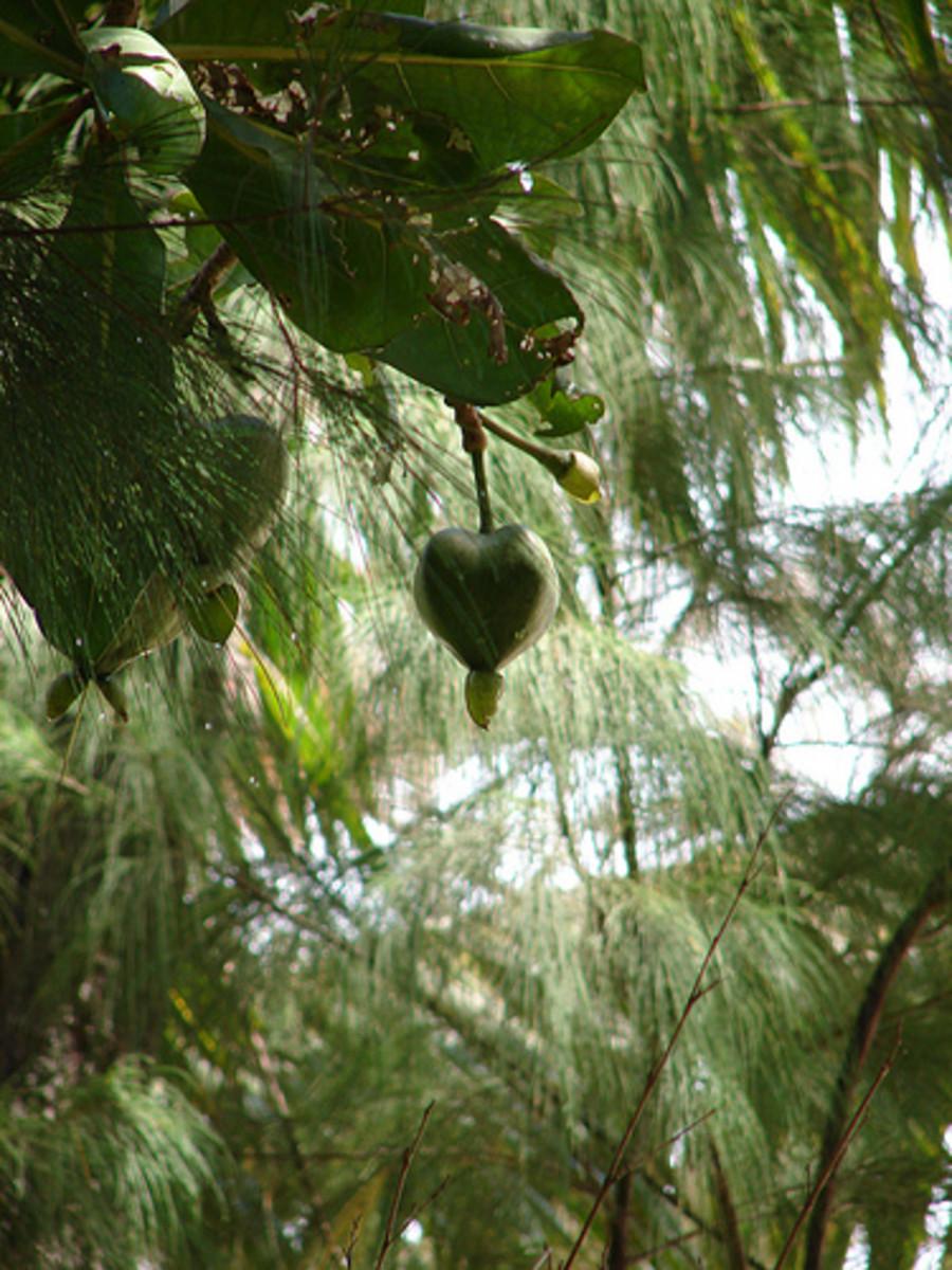 Heart Shaped Coconut