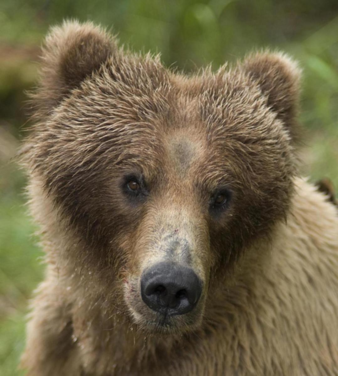 Heart shaped bear face
