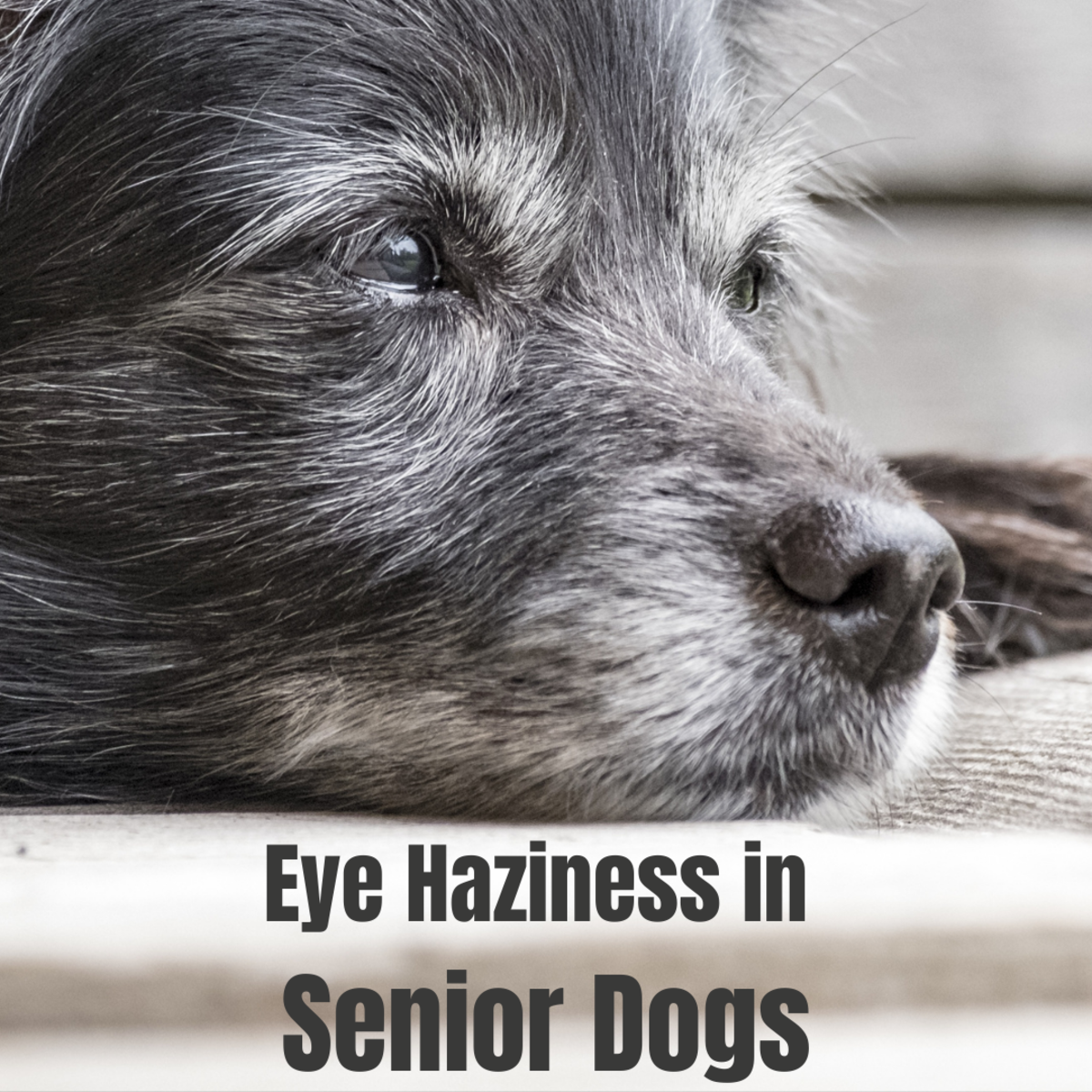 What causes eye haziness in older dogs?