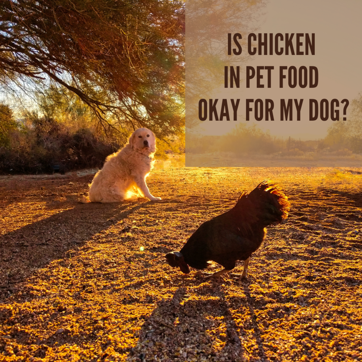 Dogs love chickens—but are they good for them?