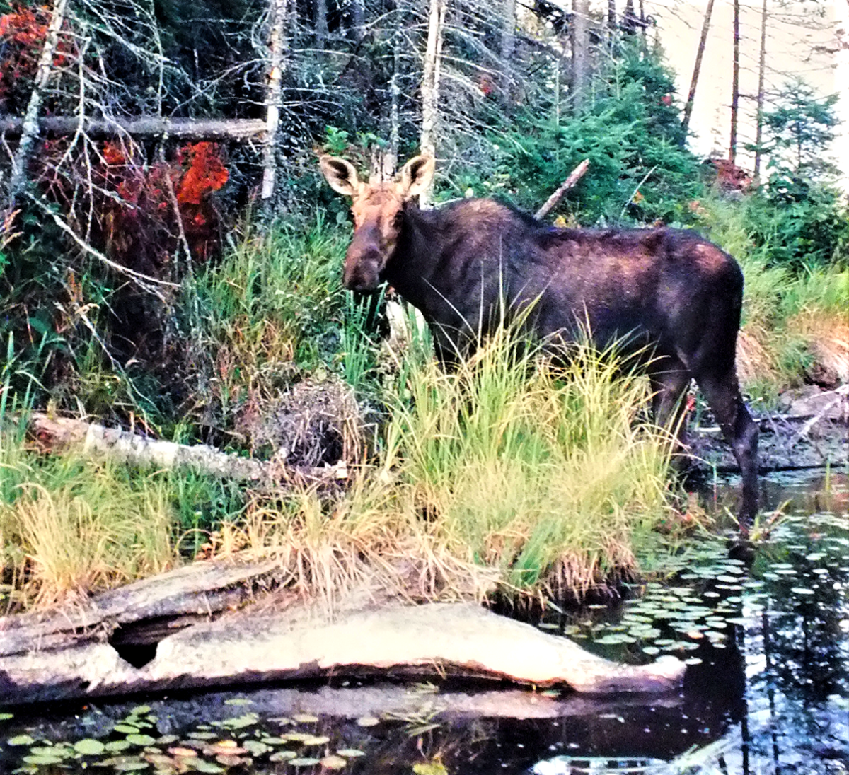 Moose picture taken at Algonquin Provincial Park. Converted to digital 24 years later.