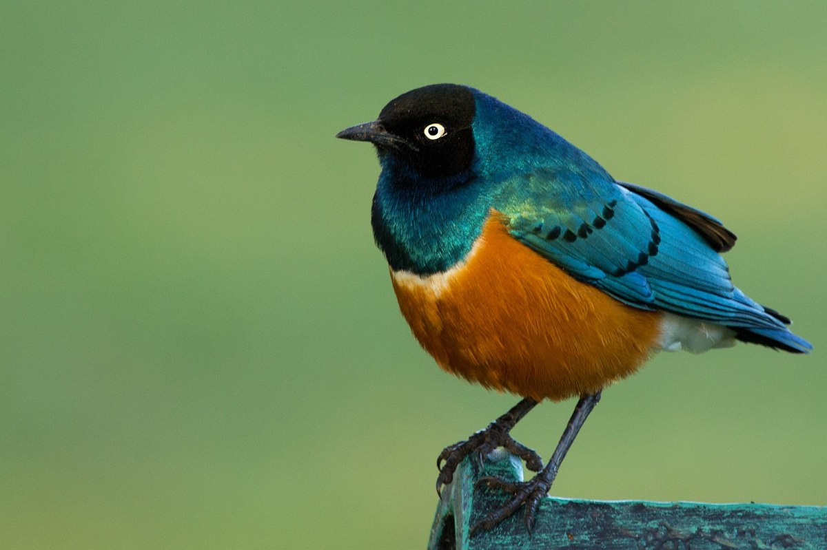 The Superb Starling: By Sumeet Moghe - Own work, CC BY-SA 3.0, https://commons.wikimedia.org/w/index.php?curid=22566824