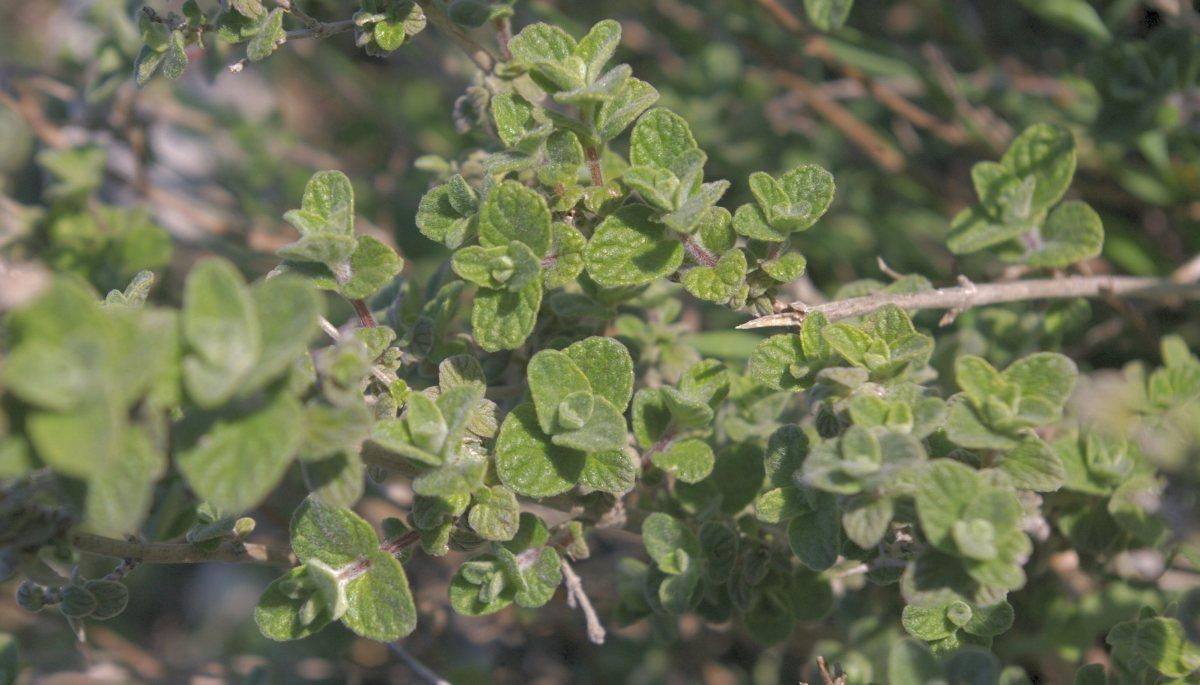 Oregano Herb and the Health Benefits Of Oregano Oil
